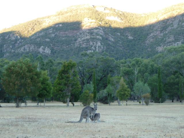 Grampians kangaroo