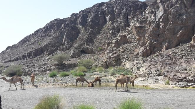 Wadi kamelen